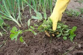 Cultivation for soil and weed control